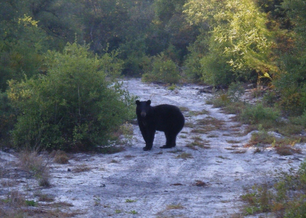 bear on trail