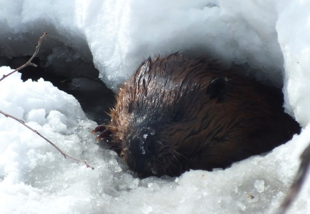 beaver-in-icy-water